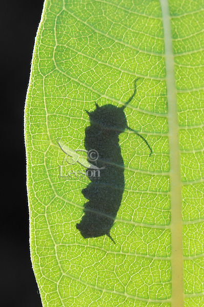 MONARCH BUTTERFLY (Danaus plexippus) 3rd Instar Caterpillar on Common Milkweed leaf (Asclepias syriaca). Monarch caterpillars will only eat milkweed. Summer. Nova Scotia, Canada.
