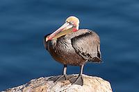 California Brown pelican (Pelecanus occidentalis) standing on a cliff over the Pacific ocean.