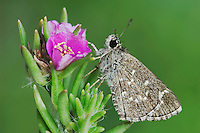 Celia's Roadside-Skipper, Amblyscirtes celia, adult on Shaggy Portulaca (Portulaca pilosa), Willacy County, Rio Grande Valley, Texas, USA