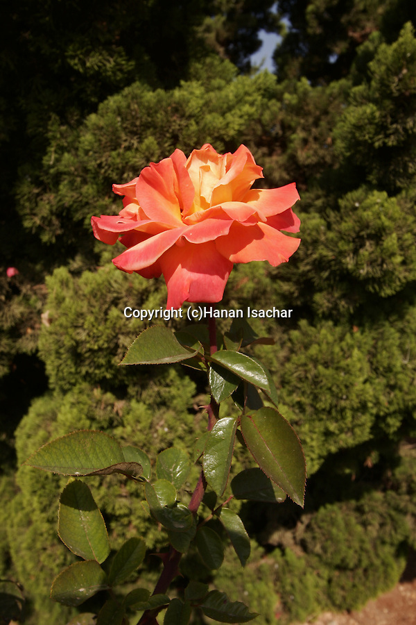 Israel, a rose at Wohl Rose Park of Jerusalem