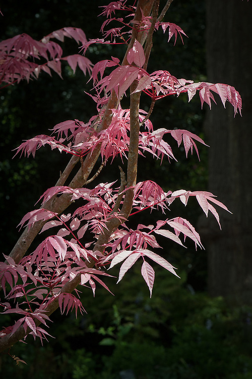 Toona sinensis 'Flamingo', mid May. Commonly known as Chinese mahogany, Chinese cedar, Chinese Toon, or Red Toon. This cultivar named for its bright pink foliage in spring.