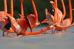 American Flamingo (Phoenicopterus ruber) display. Yucatan, Mexico.