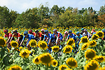 The peloton pass by sunflower fields during Stage 2 of Criterium du Dauphine 2020, running 135km from Vienne to Col de Porte, France. 13th August 2020.<br /> Picture: ASO/Alex Broadway | Cyclefile<br /> All photos usage must carry mandatory copyright credit (© Cyclefile | ASO/Alex Broadway)