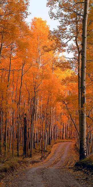 aspen in fall color line last Dollar Road near Telluride, Rocky Mountains, Colorado, USA