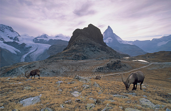 Alpine Ibex, Capra ibex ibex, male, Zermatt, Matterhorn, Switzerland, August 1998