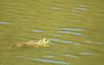 American bullfrog, Rana catesbeiana, in a pond in Mendocino County, California. Bullfrogs are native to the eastern United States, but have become established throughout the West.