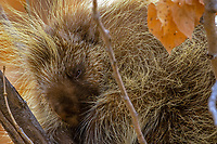 North American porcupine (Erethizon dorsatum)--also known as the Canadian porcupine or common porcupine resting in cottonwood tree.  Western U.S., late fall.
