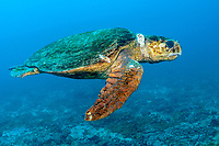 loggerhead sea turtle, Caretta caretta, Lady Elliot Island, Great Barrier Reef, Queensland, Australia, Coral Sea, South Pacific Ocean
