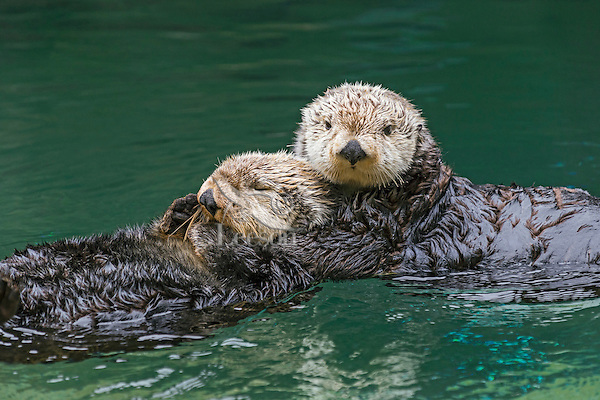 Two Sea Otters (Enhydra lutris)