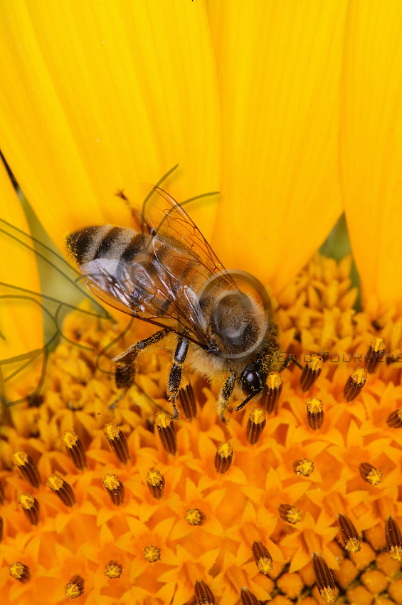 A bee shrouded in pollen harvests the nectar of a sunflower, involuntarily pollinating the plant. One could believe that the foraging of pollen would be the main cause of pollination but it is in fact the collection of nectar which proves most effective for pollination.