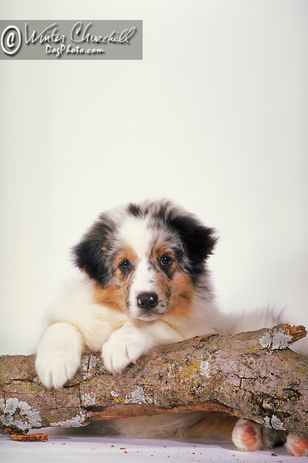 Australian Shepherd Puppy<br /> <br /> <br /> Shopping cart has 3 Tabs:<br /> <br /> 1) Rights-Managed downloads for Commercial Use<br /> <br /> 2) Print sizes from wallet to 20x30<br /> <br /> 3) Merchandise items like T-shirts and refrigerator magnets