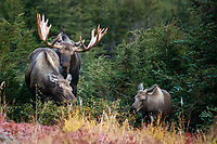 Fall landscape of Bull, cow and calf moose in powerline valley of Glen Alps area in Chugach Mountains near Anchorage, Alaska.  Chugach State Park.  <br /> <br /> Photo by Jeff Schultz/SchultzPhoto.com  (C) 2018  ALL RIGHTS RESERVED