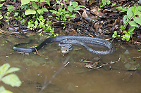 Black-tailed indigo snake; Drymarchon melanurus; Ecuador, Prov. Loja, Macará, Jorupe Reserve