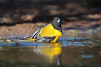 561850031 a wild brilliant yellow audubon's oriole icterus graduacauda bathes in a small pond on beto gutierrez santa clara ranch hidalgo county lower rio grande valley texas united states