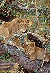 Two African lion cubs rest in a tree, Okavango Delta, Botswana