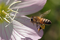 Honey Bee nectaring at a primrose wildflower.