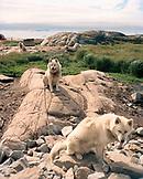 GREENLAND, Ilulissat, Arctic Hotel, sled dogs sitting on landscape