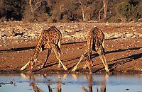 Drinking giraffes (Giraffa camelopardalis), Etosha National Park, Namibia, Africa