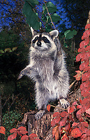 Raccoon (Procyon lotor)  with paw up in air standing on stump by autumn leaves