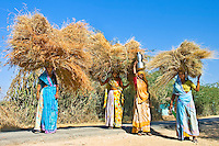 The hay carried by these women contrasts beautifully with the bright blue Indian sky.<br /> (Photo by Matt Considine - Images of Asia Collection)