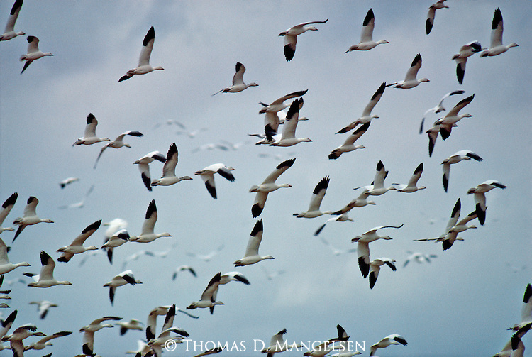 A large flock of Snow Geese fly overhead against blue skies in New Mexico.