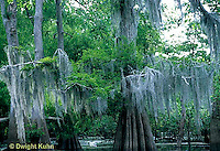 MY17-002z   Spanish Moss hanging from tree - Epiphyte related to Pineapple and not true mosses Tillandsia usneodes.