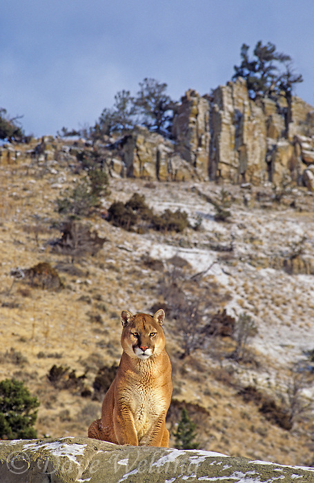 656326315 Mountain Lion Felis concolor CAPT.Central Montana