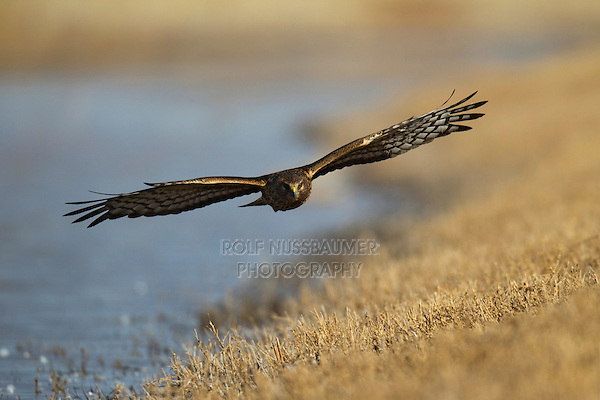 Northern Harrier (Circus cyaneus) adult flying, Bosque del Apache National Wildlife Refuge , New Mexico, USA