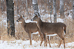 Two white-tailed does standing at the edge of the forest as it begins to snow.