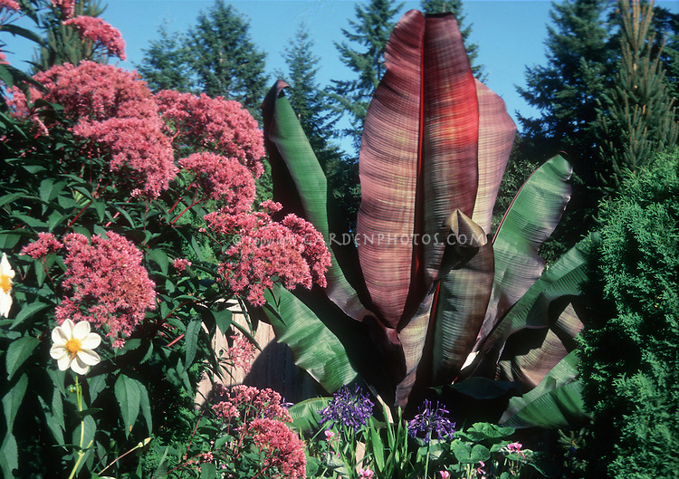 Ensete ventricosum 'Maurelii' with Eupatorium maculatum atropurpureum, Dahlia, giant plants