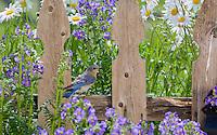 Eastern Bluebird, Lumberton, New Jersey