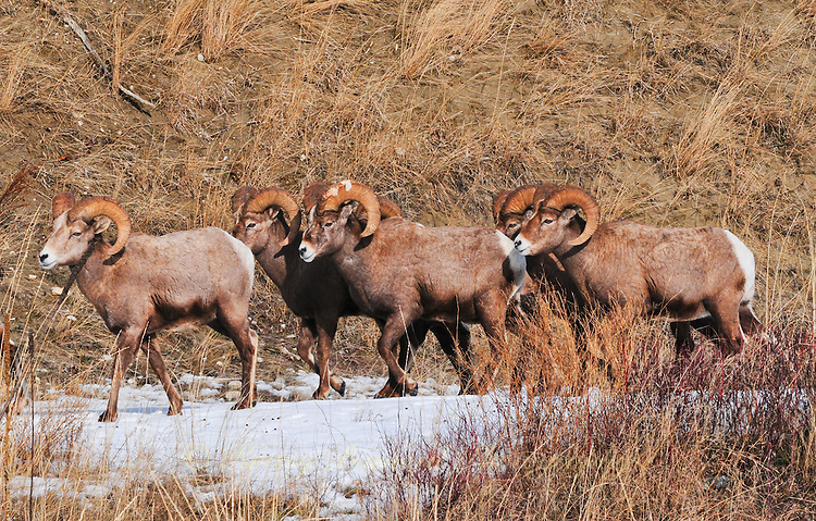 Big horn sheep herd on the move in the snow.