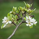 """Blossom of Pear 'Triomphe de Jodoigne', mid March. A Belgian pear raised by Simon Bouvier, Jodoigne, in 1830. """"Fruit large, oval-pyriform, tapering markedly toward stem, uneven, green becoming lemon-yellow; calyx small, open, in a small, uneven basin; stem rather long, stout, woody, fleshy at insertion; flesh whitish, coarse, juicy, half-melting, sweet; good to very good."""" (The Pears of New York by U.P. Hedrick, Report of the New York Agricultural Experiment Station for the Year, 1921)"""