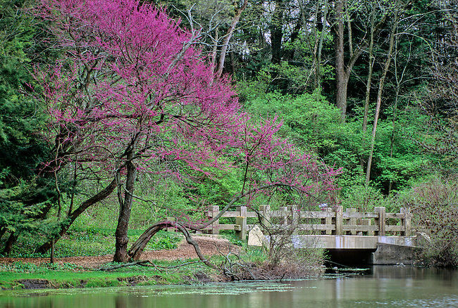 Rebud trees sprout brilliant pink leaf blossoms along the road and bridge that follows the shore of Lake Marmo in the Spring at the Morton Arboretum, DuPage County, Illinois.