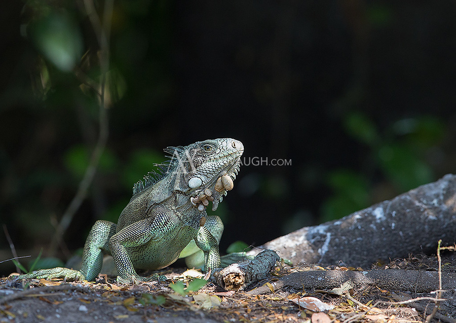 Green iguanas are found both on land and in trees and bushes, where they blend in well with the foliage.  In case you're wondering, those large brown bulbs hanging off the iguana's chin are engorged ticks!