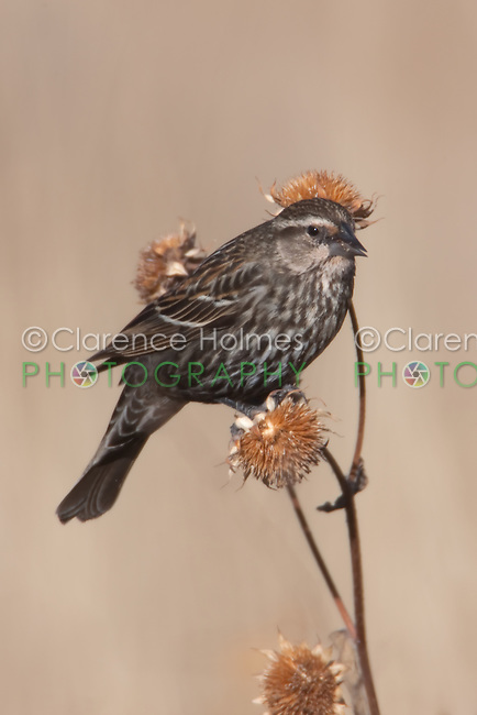 Red-winged Blackbird (Agelaius phoeniceus) - Female perching perching on thistle