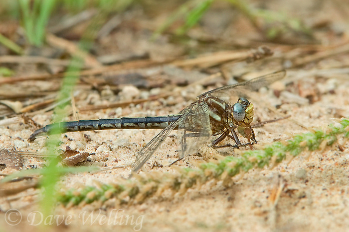 333890002 a wild female ashy clubtail gomphus lividus perches on the ground near a stream in sam houston national forest in san jacinto county texas