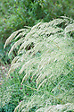 Stipa calamagrostis, early July. Rough feather grass is a deciduous perennial with narrow, arching leaves and feathery panicles of pale green flowers in summer that turn light brown in autumn.