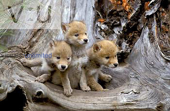 Coyote pups five weeks old ,Canis latrans,