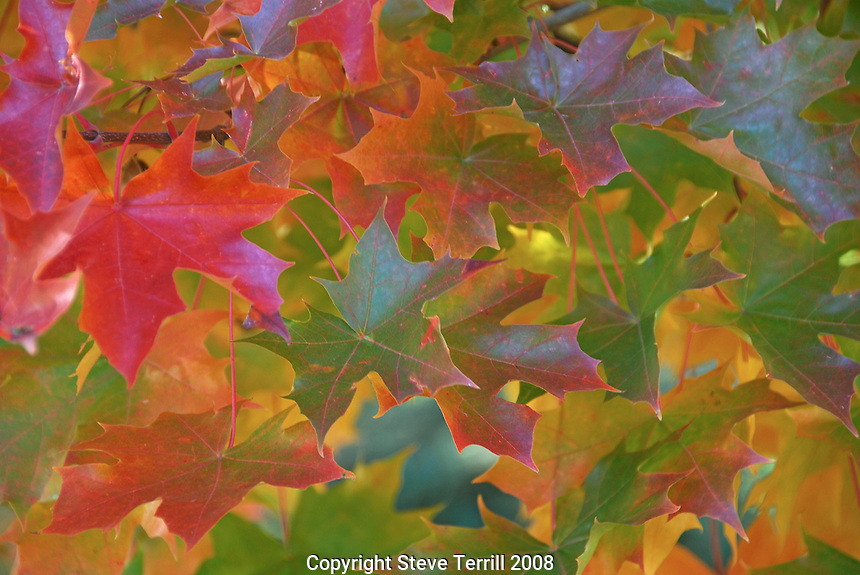 Vivd autumn color on sweet gum leaves in Portland, Oregon