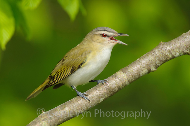 Adult Red-eyed Vireo (Vireo olivaceus) singing. Tompkins County, New York. May.
