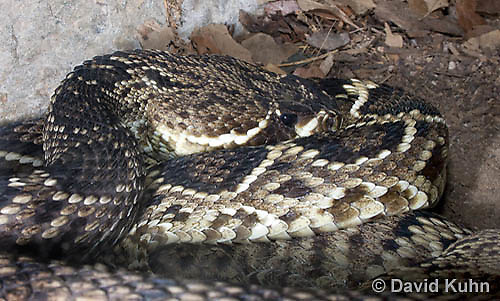 0419-1010  Southern Pacific Rattlesnake (Black Diamond Rattlesnake, Pacific Rattler), Southwest California, Crotalus oreganus helleri (syn. Crotalus viridis helleri)  © David Kuhn/Dwight Kuhn Photography.