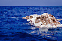 Tiger shark, Galeocerdo cuvier, eating a humpback whale carcass, Megaptera novaeangliae, Silver Banks, Dominican Republic, Caribbean Sea, Atlantic Ocean
