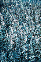 Sequoia National Park in winter, full frame of giant Sequoia trees covered in snow. California