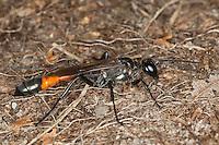 Gemeine Sandwespe, Ammophila sabulosa, Red-banded Sand Wasp, Grabwespe