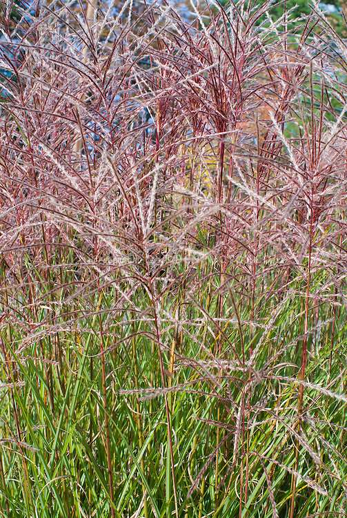 fountain grass miscanthus sinensis kleine fontane little. Black Bedroom Furniture Sets. Home Design Ideas