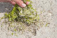 Strandfloh, im Spülsaum, Angespül, auf Sandstrand, Strand, lebt zwischen und unter angeschwemmten Algenresten, Tangen, Sandhüpfer, Strandhüpfer, Sandfloh, Strand-Floh, Talitrus saltator, syn. Talitrus locusta, Talitrus littoralis, sand hopper, sand-hopper, sandhopper, Flohkrebs, Flohkrebse, Amphipoda, amphipod crustacean