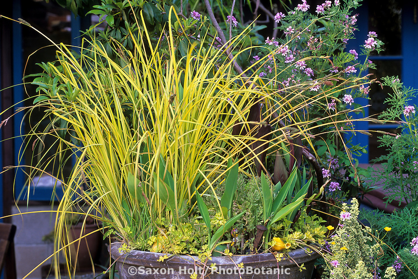 Colorful yellow foliage grass, Carex elata 'Bowles Golden' in container in California garden of Roger Raiche