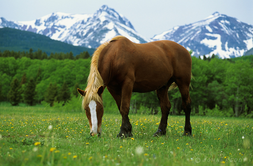 Horse and Glacier National Park peaks-Montana, USA