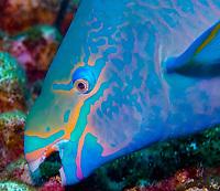 queen parrotfish, Scarus vetula, feeding on coral, Bonaire, Netherlands Antilles, Caribbean Sea, Atlantic Ocean